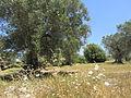 """"""" 12 - ITALY - Ulivo ( Olea europaea) e grano wheat nel Salento (ITALIA) 2.JPG"""