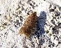 (0782) Bryotropha senectella (14392176549).jpg