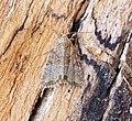 (2341) Cloaked Minor (Mesoligia furuncula) (19399430333).jpg