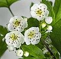 (MHNT) Crataegus monogyna - flowers and buds.jpg