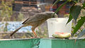 (Turdoides affinis) White headed babbler drinking water at Madhurawada 01.JPG