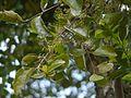 ¿ Helixanthera obtusata ? (14393210348).jpg