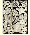 Échinodermes (astéries, ophiures et échinides) (1917) (20600124132).jpg