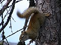 Écureuil acrobate.jpg