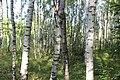 Березовая роща. Лес около Княгинихи. Савинский р-н. Ивановская обл. Август 2013 - panoramio.jpg