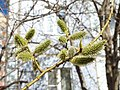 Весна, ива в цвету - panoramio.jpg