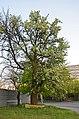 Вікове дерево груші, пр. Перемоги 123 1.jpg