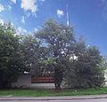 Вікове дерево груші 01.JPG