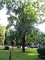 Гомель. Парк. Клён ложноплатановый, или Явор. Фото 02.jpg