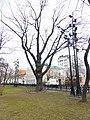 Дуб на Тверском бульваре (Пушкинский дуб) 02.jpg