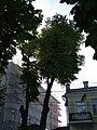 Липа звичайна у Хмельницькому. Пам'ятка природи 02.jpg