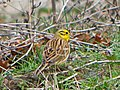 Обыкновенная овсянка - Emberiza citrinella - Yellowhammer - Жълта овесарка - Goldammer (33399177905).jpg