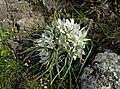 Птицемлечник преломленный - Ornithogalum refractum - Пречупен гарвански лук - Milchsterne (26450396976).jpg
