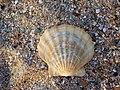 Раковина моллюска, остров Тузла, август 2007 г.jpg