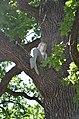 Ходосівський дуб 02.jpg