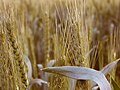 حقل القمح في مراكش، المغرب.jpg