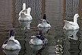 غاز -Geese 15.jpg