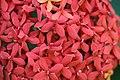 ดอกเข็ม ( Ixora stricta Roxb ) RUBIACEAE (10).jpg