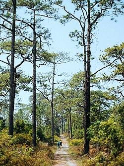 ป่าสนบนภูกระดึง.jpg