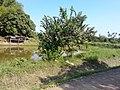 หมู่บ้าน นาพิพาน ต.ปะโค เมือง หนองคาย - panoramio (13).jpg