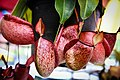 หม้อข้าวหม้อแกงลิง tropical pitcher plants Genus Nepenthes Photographed by Trisorn Triboon 10.jpg