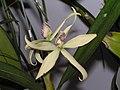圍柱蘭屬 Encyclia baculus (Anacheilium baculus) -香港沙田洋蘭展 Shatin Orchid Show, Hong Kong- (9216066432).jpg