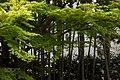 宝泉院の竹林と楓 (258320833).jpeg