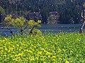 桜吹雪の湖 (Lake Hokuryu in spring) 03 May, 2014 - panoramio.jpg