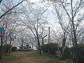 正福寺山公園 売店手前の桜並木 - panoramio.jpg