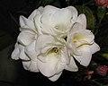 白花小蒼蘭-重瓣 Freesia alba -香港公園 Hong Kong Park- (20235339771).jpg