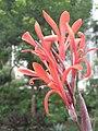 美人蕉 Canna indica -香港沙田中央公園 Shatin Central Park, Hong Kong- (9204848347).jpg
