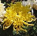 菊花-金碧輝煌 Chrysanthemum morifolium 'Magnificent' -香港雲泉仙館 Ping Che, Hong Kong- (12085615066).jpg