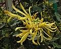 菊花-金鳳舞 Chrysanthemum morifolium 'Golden Phoenix Dancing' -香港雲泉仙館 Ping Che, Hong Kong- (12099273253).jpg