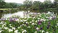郡山緑水苑 池とあやめ.jpg