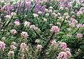 醉蝶花 Spider Flower (Cleome spinosa) - panoramio.jpg