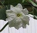 長柄葫蘆 Lagenaria siceraria v caugourda -北京花卉大觀園 The World Flower Garden, Beijing- (9240253570).jpg