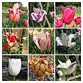 鬱金香 Tulipa cultivars 1 -武漢植物園 Wuhan Botanical Garden- (32658236133).jpg