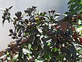 02-07-2017 African Birds Eye Chili or Piri piri, (Capsicum frutescens cultivars), Albufeira.JPG