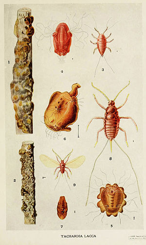 Shellac - Drawing of the insect Kerria lacca and its shellac tubes, by Harold Maxwell-Lefroy, 1909