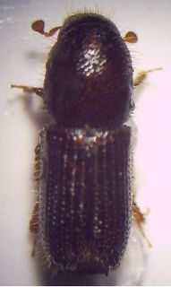 <i>Orthotomicus laricis</i> species of insect