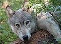 0462 wenaha male wolf odfw (17292450992).jpg