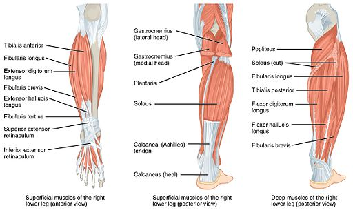 1123 Muscles of the Leg that Move the Foot and Toes