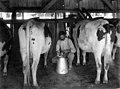 1158-28 Dairying (Milking Machine - Levi Stephens Ranch-Canon Co) circa 1930s.jpg