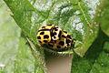 14-spot ladybirds (Propylea quatuordecimpunctata) mating 1.jpg
