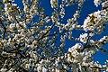 18-04-22-Kirschbluete RRK1730.jpg
