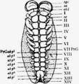 1911 Britannica-Arachnida-Brauer.png