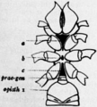 1911 Britannica-Arachnida-Thelyphonus sp.png