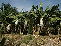 20-Südostküste 15 km von Alanya Bananenklima - panoramio.jpg
