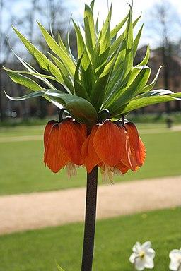 2008-04-23 Berlin Schlosspark Charlottenburg Fritillaria imperialis