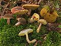 2009-09-29 Xerocomellus pruinatus.jpg